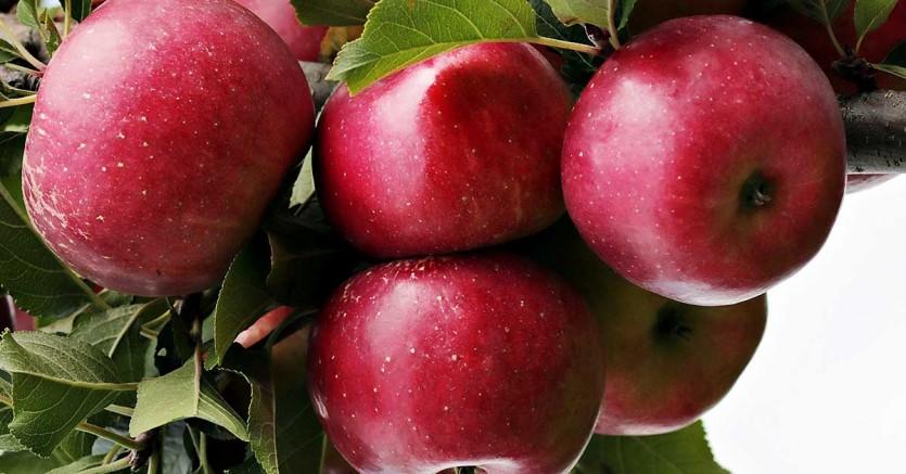 Buzdolabında 'bir yıl dayanan elma üretildi