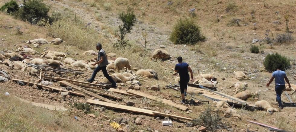 Kurbanlık taşıyan kamyonun devrilmesi sonucu 100'e yakın koyun telef oldu