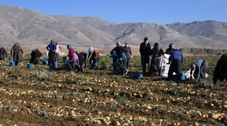 Sarız ilçesinde patates hasadına başlandı