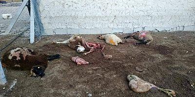 Kurtların saldırdığı 4 koyun telef oldu