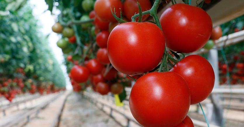Türkiye'nin domates ihracatı yılın ilk yarısında yüzde 12 arttı