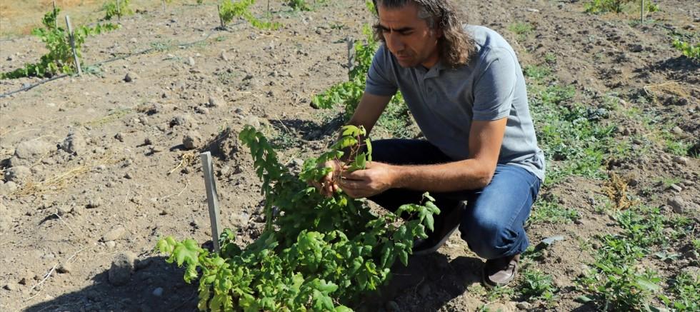 Türkülere konu olan Gesi Bağları üzümleri koruma altına alınıyor